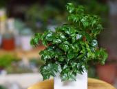 Ý nghĩa phong thủy của cây Hạnh Phúc