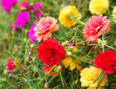 Những lưu ý gia chủ nên nhớ khi trồng hoa mười giờ trước nhà